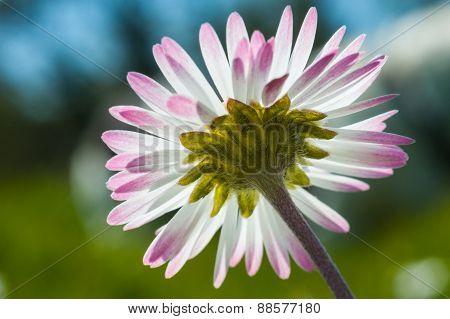daisy flower close up colour