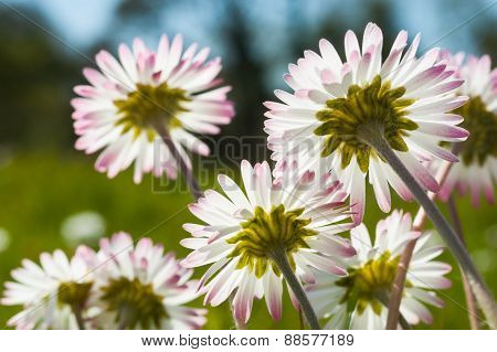 daisy flowers abstract