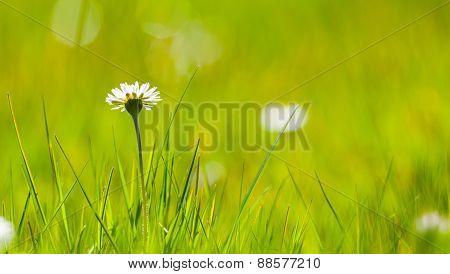 single daisy flower in green meadow