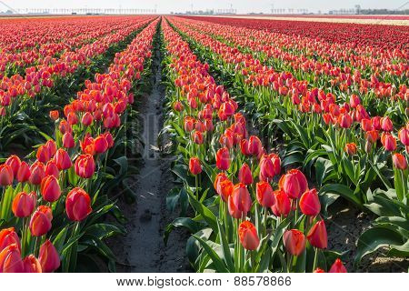 Red Blooming Tulips In Long Rows In The Field