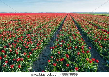 Red Blossoming Tulips In Long Rows In The Field