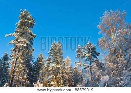 White Fairytale December Frost