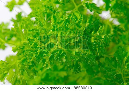 detail of fresh parsley leaves bunch