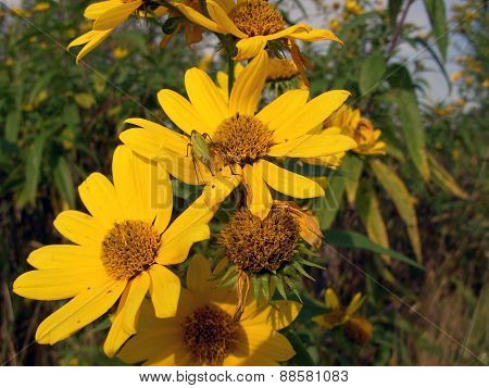 Yellow Daisies with a Katydid