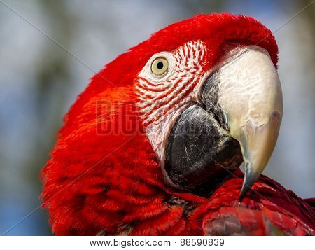 close up of a scarlet macaw (ara macao)