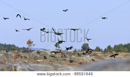 A flock of crows move around in the air.