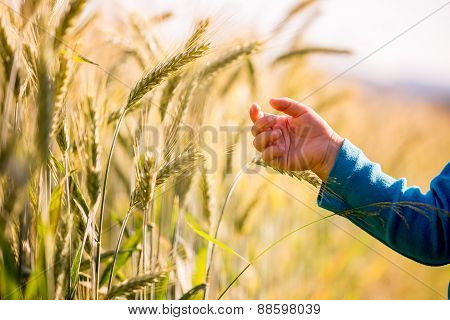 Child Reaching Out To Touch Young Wheat
