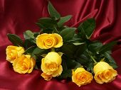picture of yellow rose  - yellow roses - JPG