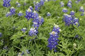 stock photo of bluebonnets  - A close look at Texas bluebonnets growing wild - JPG