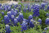 foto of bluebonnets  - An endless field of bluebonnets growing wild in Texas - JPG