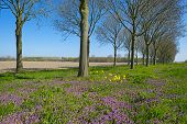 picture of row trees  - Purple wildflowers under a row of trees in spring - JPG