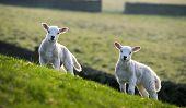 foto of spring lambs  - Pair of curious spring lambs on hillside backlit by setting sun behind - JPG