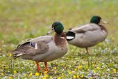 stock photo of male mallard  - two male mallard ducks  - JPG