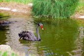 stock photo of black swan  - Black swan swimming along a green pond - JPG