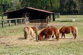 foto of feeding  - Herd of brown ponies feeding on hay gathered around a metal feeding trough in a grassy pasture with a wooden barn behind - JPG