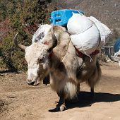 picture of yaks  - White Yak  - JPG