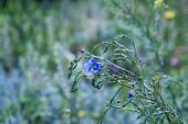 foto of flax plant  - single - JPG