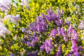 foto of lilac bush  - Close - JPG