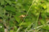 stock photo of dragonflies  - a transparent winged golden yellow dragonfly on a grass stalk - JPG