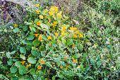 picture of nasturtium  - yellow flowers Tropaeolum  - JPG