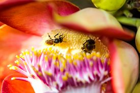 stock photo of cannonball-flower  - a Little cute bee on cannonball flower - JPG