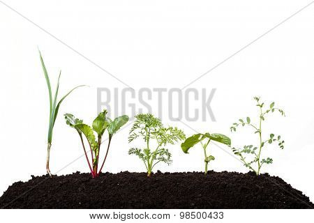 young beetroot, garlic, carrot, pea; bean; onion vegetables in early growing stages - isolated on white