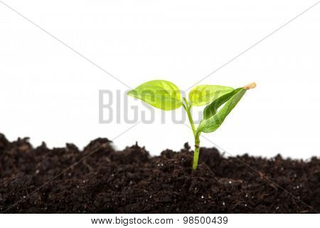 close up of chili pepper (piri piri) sprout isolated on white