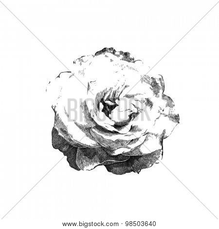 hand drawn rose created by graphics lines