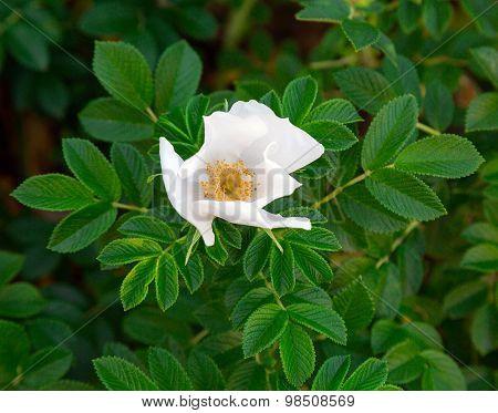White Flower Wild Rose