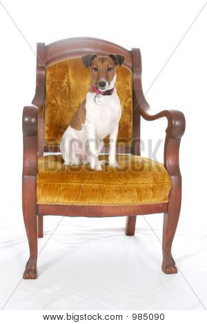 Royal Jack Russell
