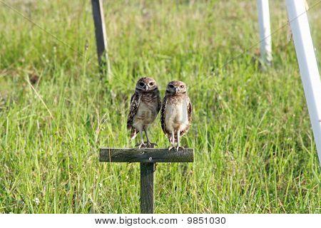 Burrowing Owl Twins