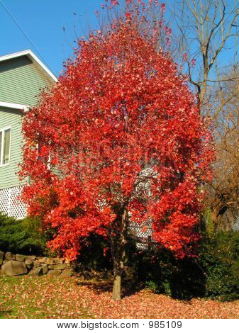 Red Leaves Of The Red Maple Tree