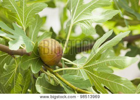 Fig On Tree