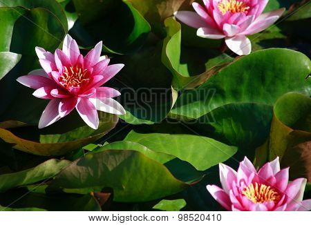 Waterlilies On Green Leaves