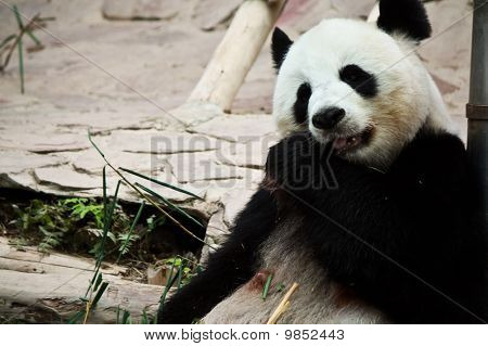 cute giant panda in the zoo of chiangmai, Thailand