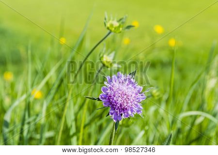 Inflorescence Knautia Arvensis (field Scabious)