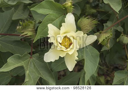 Cotton Flower, Cotton Plant, Cotton Bud