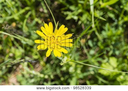 Flower - Tragopogon Pratensis (meadow Salsify, Showy Goat's-beard, Meadow Goat's-beard Or Jack-go-to