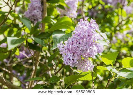 Syringa Vulgaris (lilac, Common Lilac)