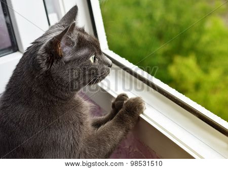Dark-grey cat is looking at the rain through the window