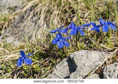 Vivid Blue Flowers - Spring Gentian (gentiana Verna L.)