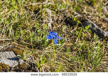 Gentiana Verna L. (spring Gentian)