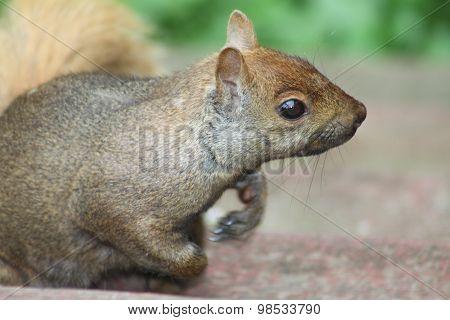 Eastern Gray Squirrel (Sciurus carolinensis)