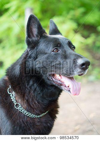 Portrait Of Black Beautiful German Shepherd Outdoors.