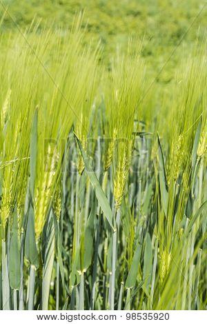 Green Ear Of Barley (hordeum L.)