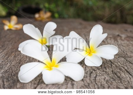 White Frangipani (plumeria) On Wood Background, Selective Focus.