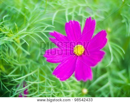 Blurred Sulfur Cosmos Flowers On Green Bokeh Background