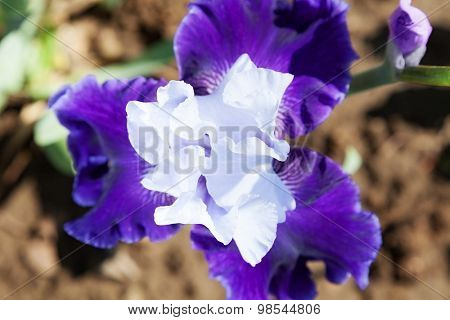 beautiful flower iris closeup. blue, purple