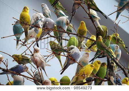 A Flock of Budgerigars