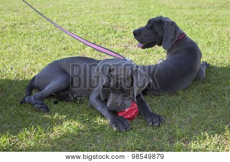 Pair Of Great Danes